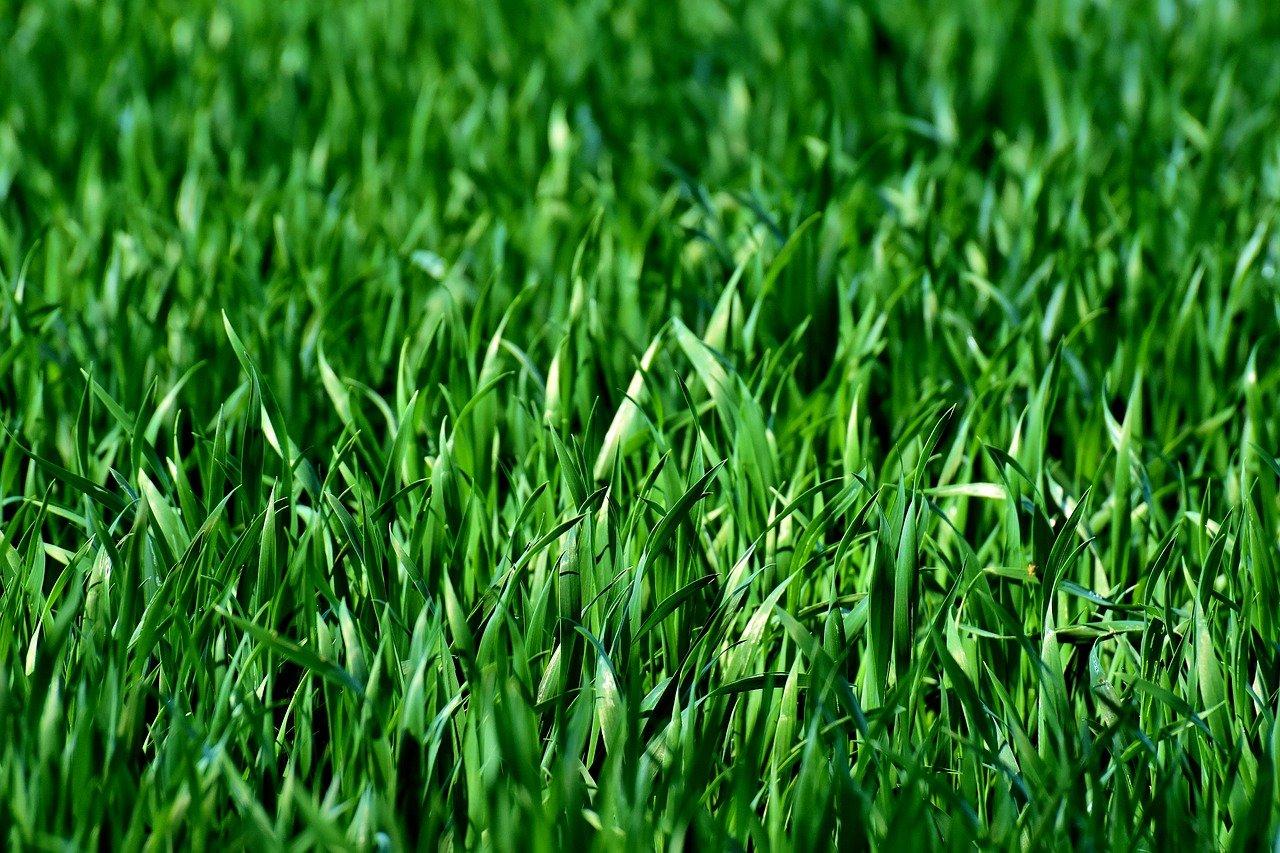 meadow, field, grass